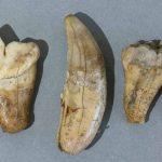Dents d'ours des cavernes, Ivoire, Époque paléolithique, Mellecey (S.-et-L.), hameau de Germolles, grotte de la Verpillère. © musée Denon